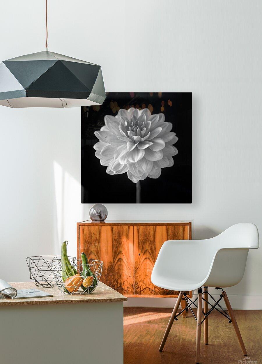 Dahlia flower on black background  HD Metal print with Floating Frame on Back