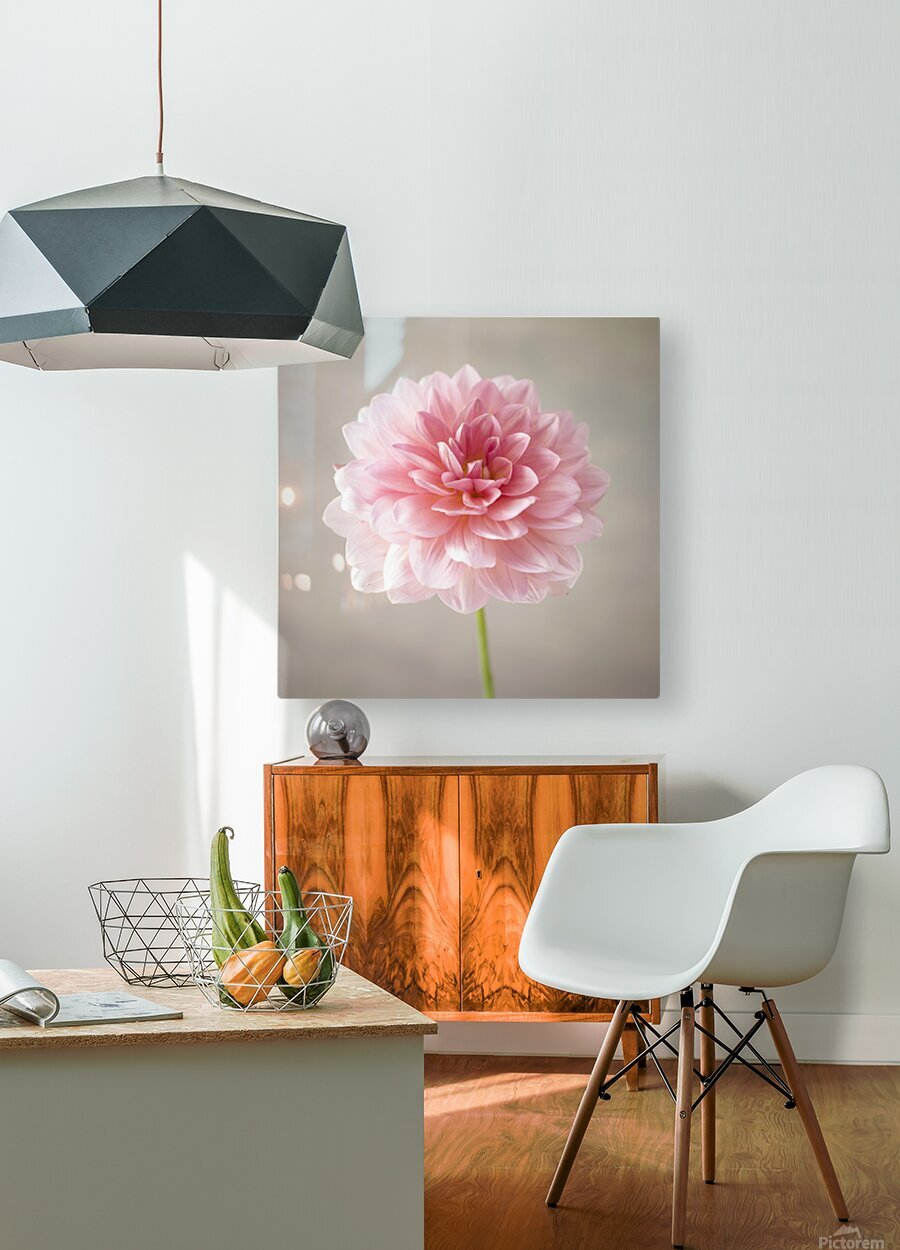 Dahlia flower on colored background  HD Metal print with Floating Frame on Back