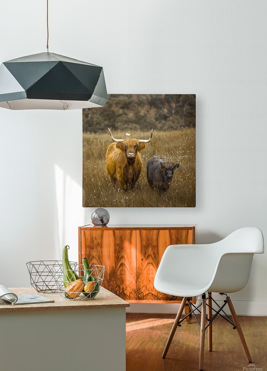 Highland Cows  HD Metal print with Floating Frame on Back