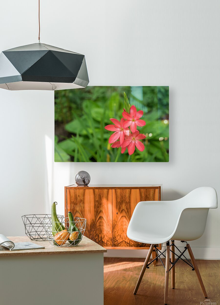 Three Bold Pink River Lily Blooms - Exotic South African Beauties in a Garden  HD Metal print with Floating Frame on Back