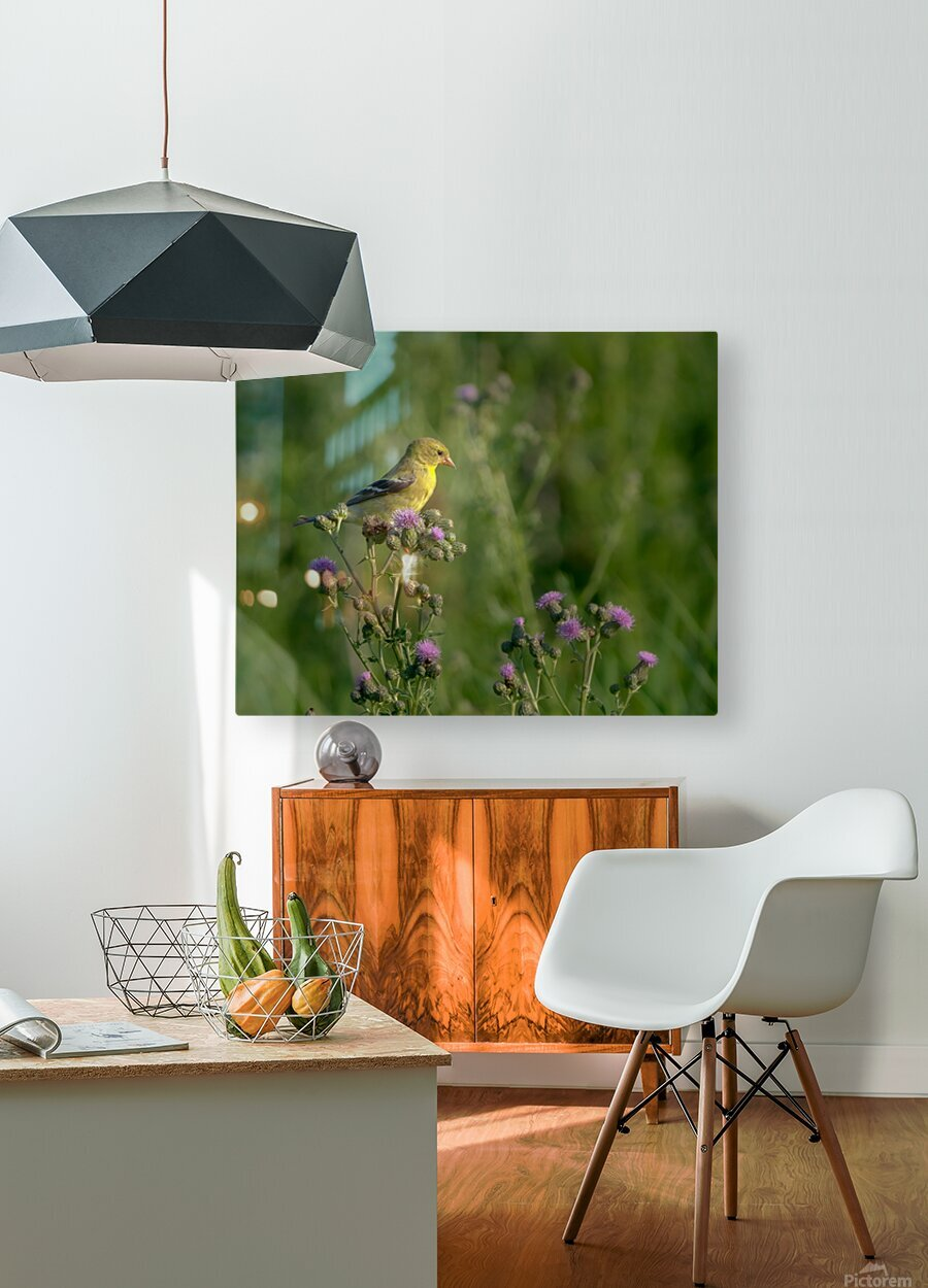 Goldfinch Female  HD Metal print with Floating Frame on Back