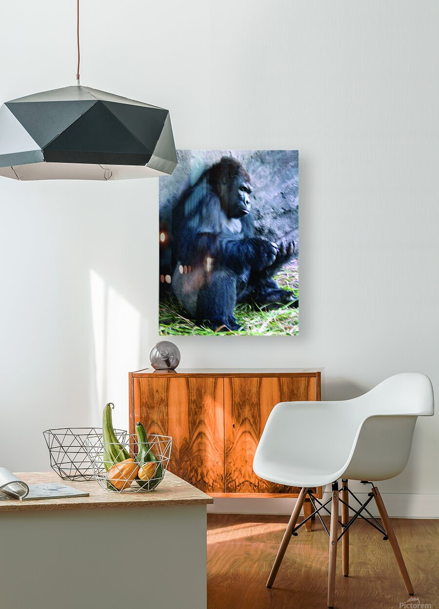 Alone Mountain Gorilla Africa  HD Metal print with Floating Frame on Back