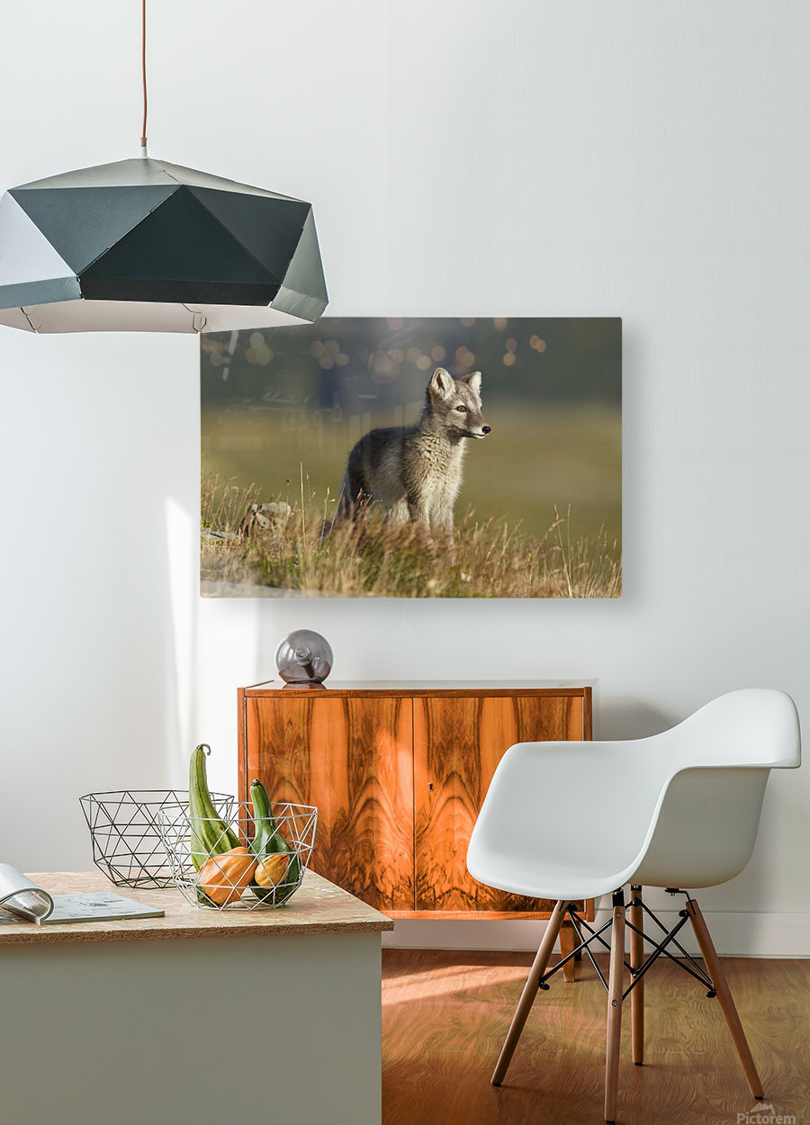 Arctic Fox Puppie by Karen Kolbeck   HD Metal print with Floating Frame on Back