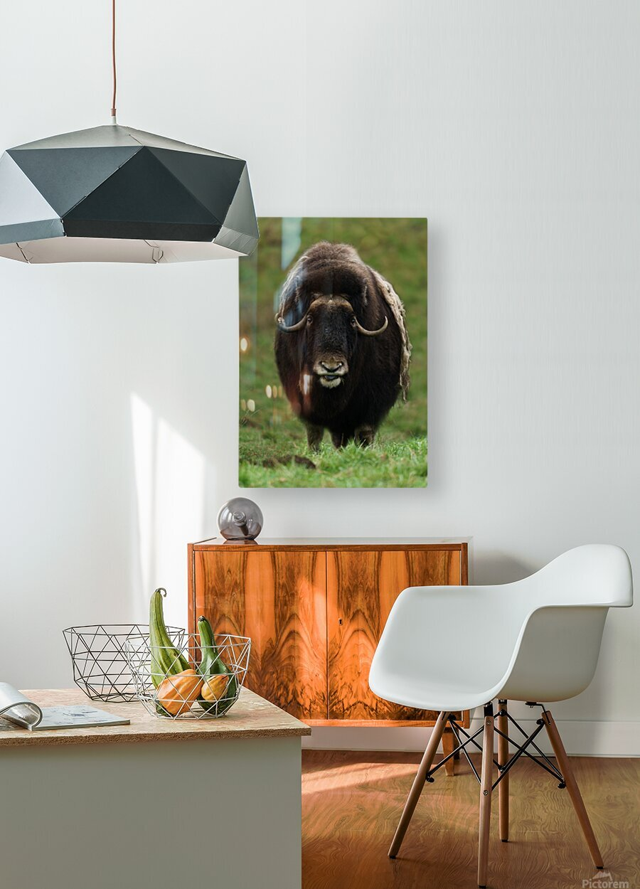 Muskox  HD Metal print with Floating Frame on Back