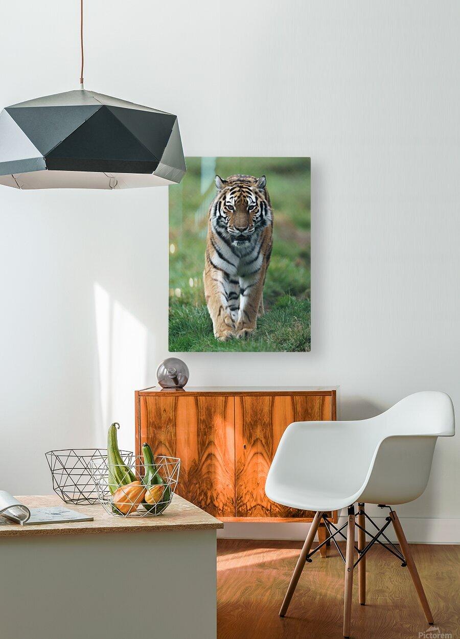 Siberian Tiger  HD Metal print with Floating Frame on Back