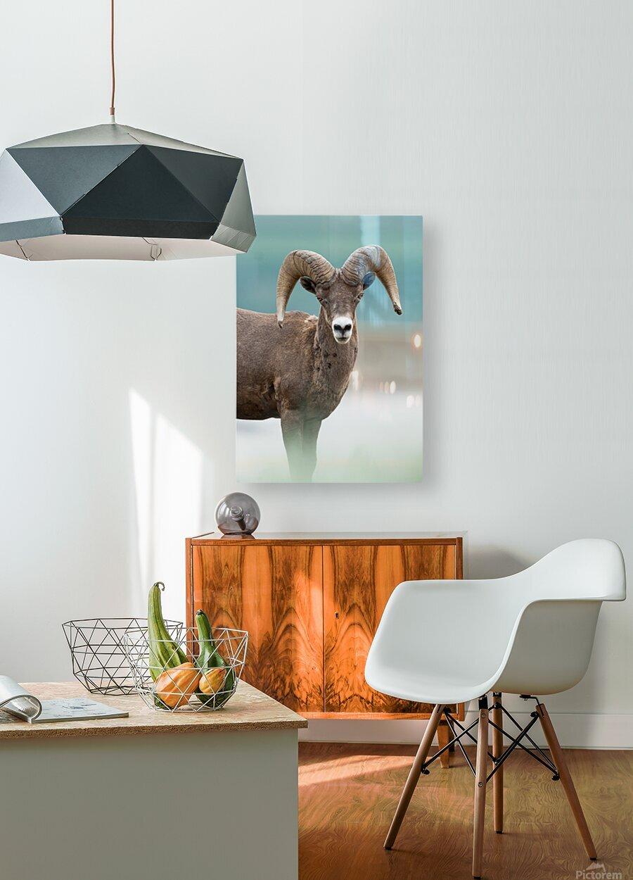 Bighorn Sheep  HD Metal print with Floating Frame on Back