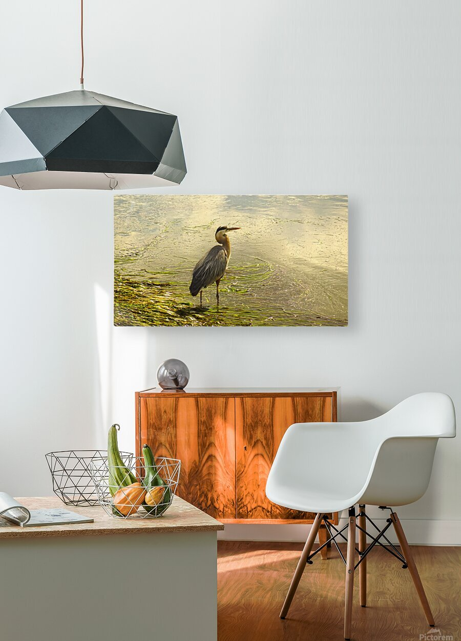 Blue Heron At the Estuary  HD Metal print with Floating Frame on Back