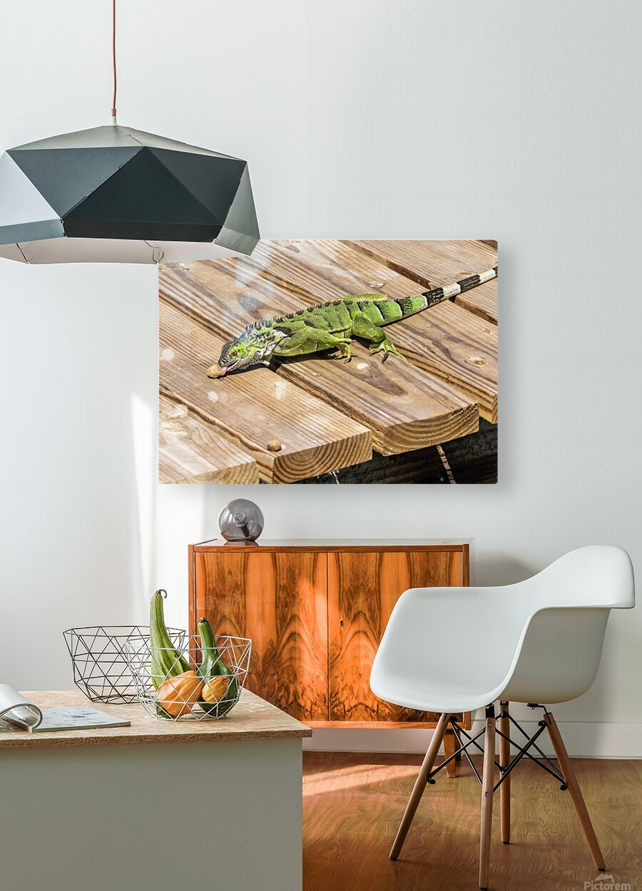 Cayman Green Iguana Snacking  HD Metal print with Floating Frame on Back