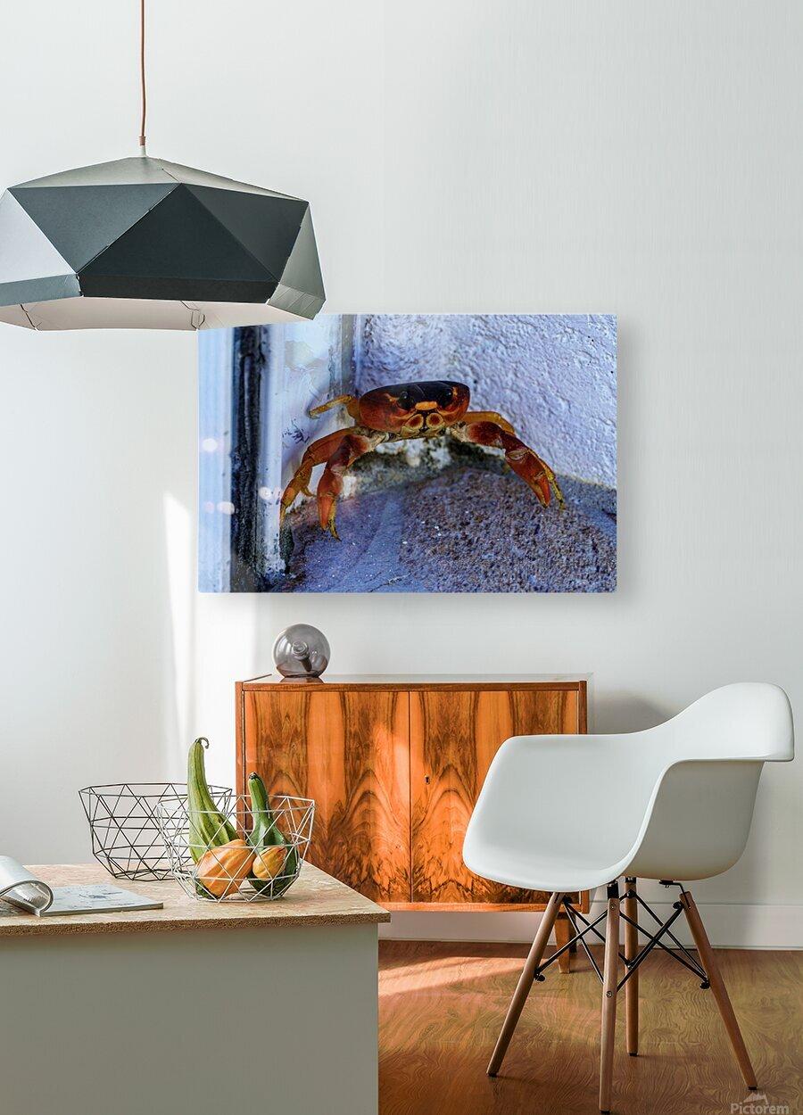 Cayman Cornered Crab  HD Metal print with Floating Frame on Back