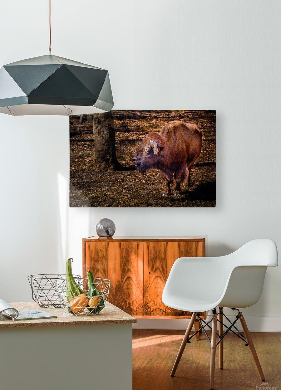 Bison  HD Metal print with Floating Frame on Back