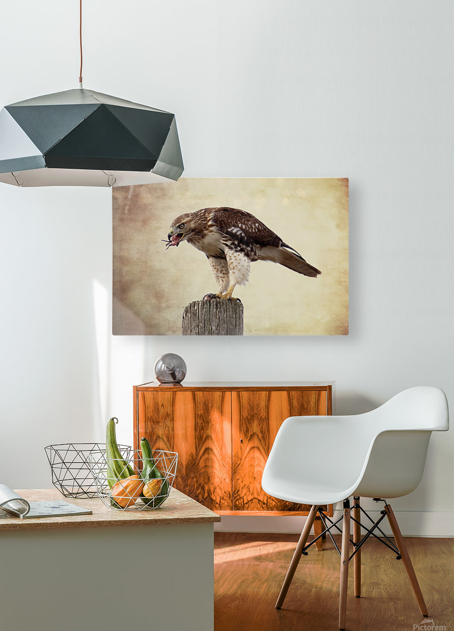 Meal Time for a Hawk  HD Metal print with Floating Frame on Back