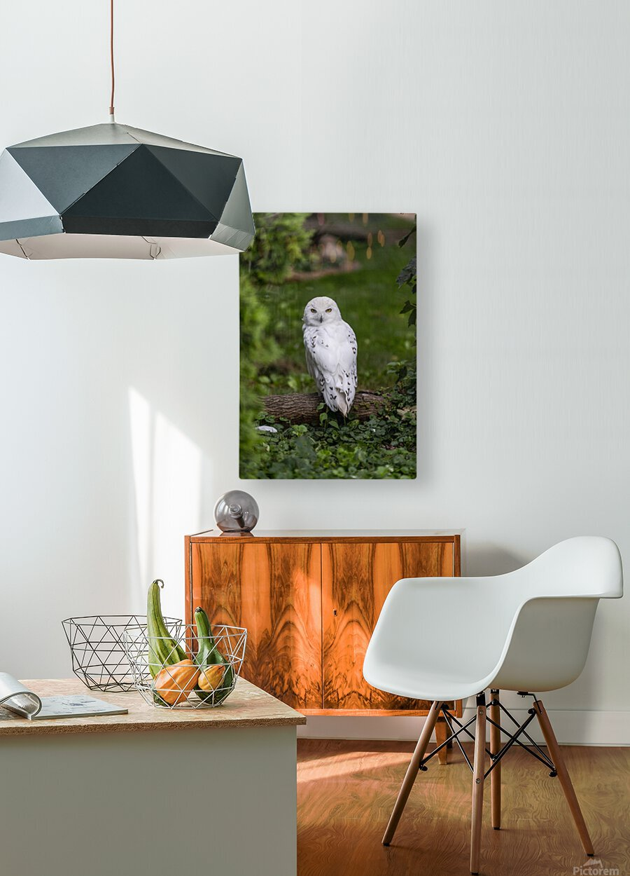 Yellow Eyes  Snow Owl   HD Metal print with Floating Frame on Back