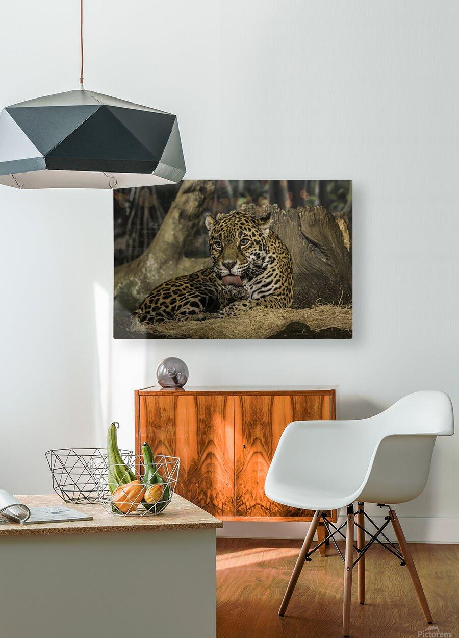 Morning Bath  Jaguar   HD Metal print with Floating Frame on Back