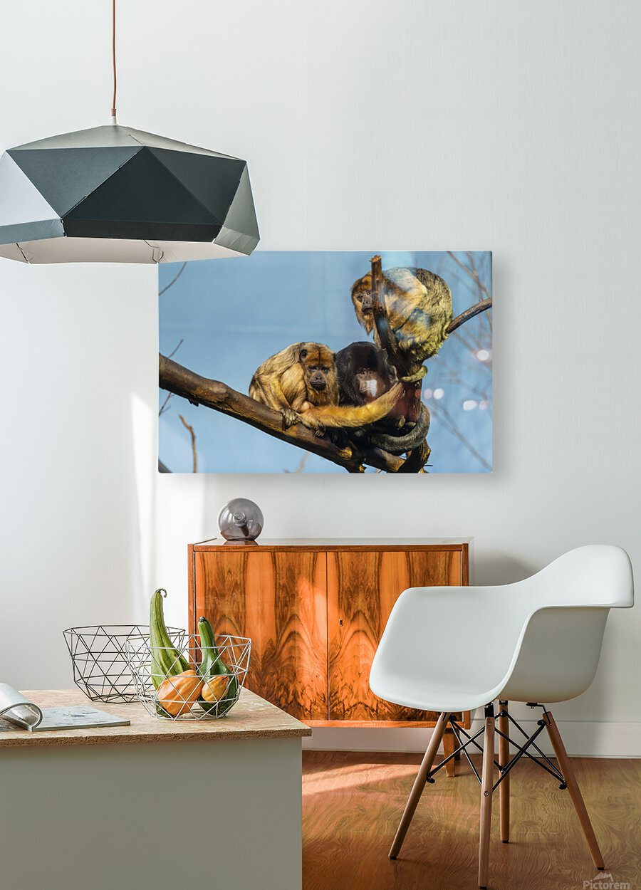 Eyes in the Trees  Howler Monkey   HD Metal print with Floating Frame on Back