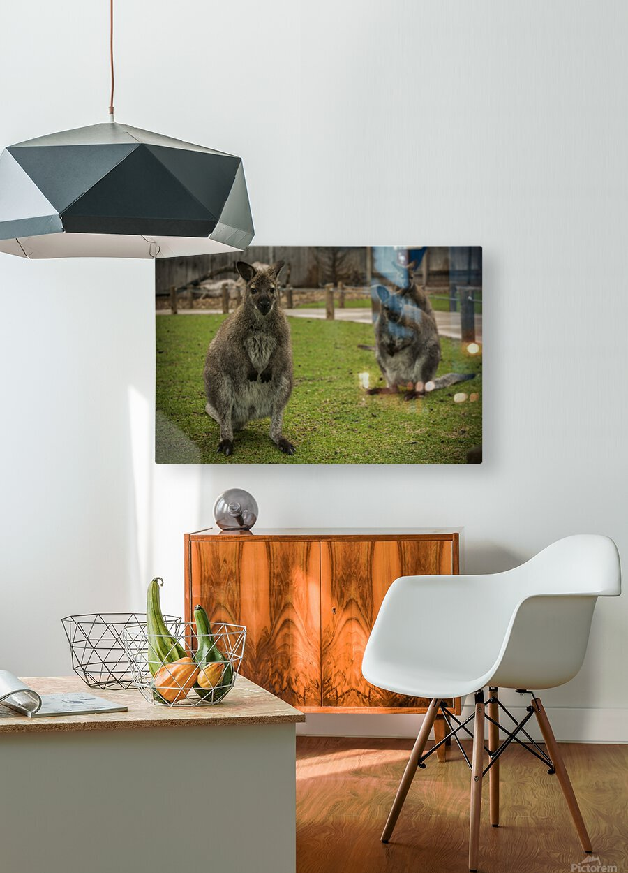Intriguing   Wallaby   HD Metal print with Floating Frame on Back