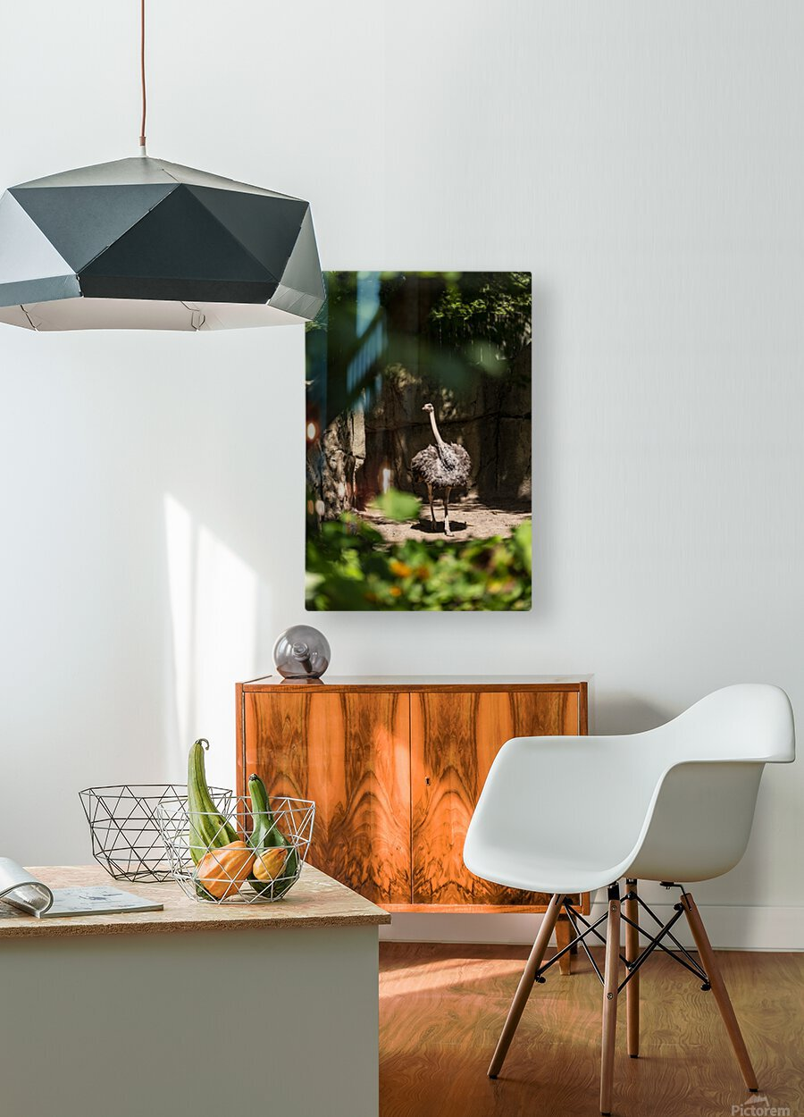 Feathers Fluffed  Ostrich   HD Metal print with Floating Frame on Back