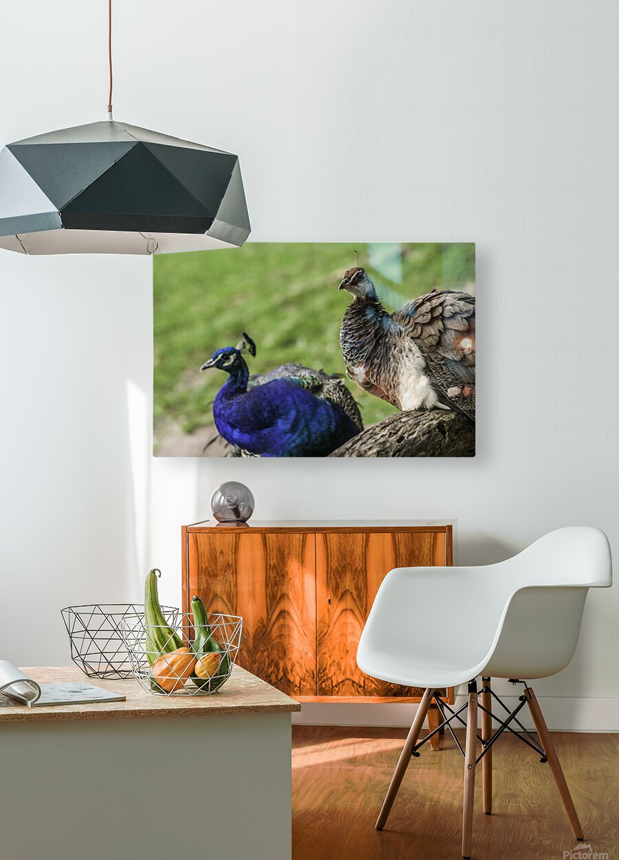 His and Hers  Peacock   HD Metal print with Floating Frame on Back