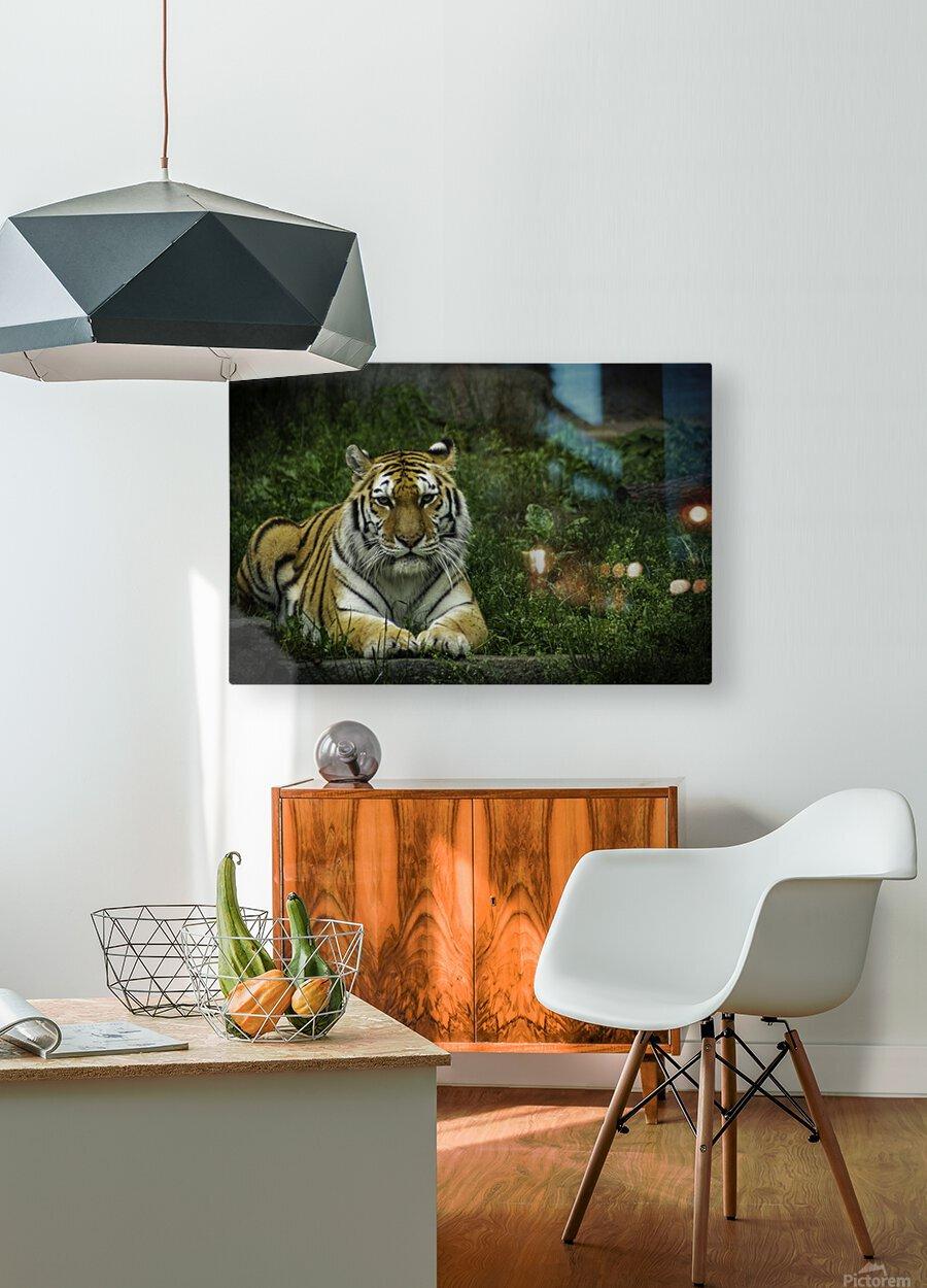 Next Strike  Tiger   HD Metal print with Floating Frame on Back