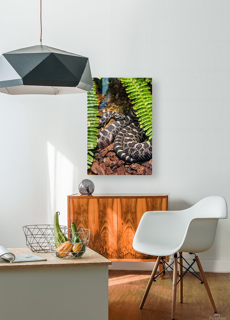 Soaking up Shade   Rattle Snake   HD Metal print with Floating Frame on Back