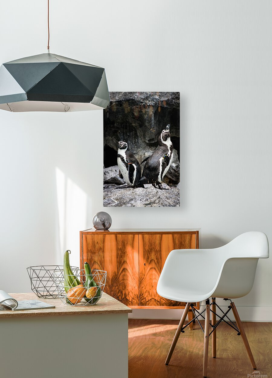 Posing for the Camera  Penguin   HD Metal print with Floating Frame on Back
