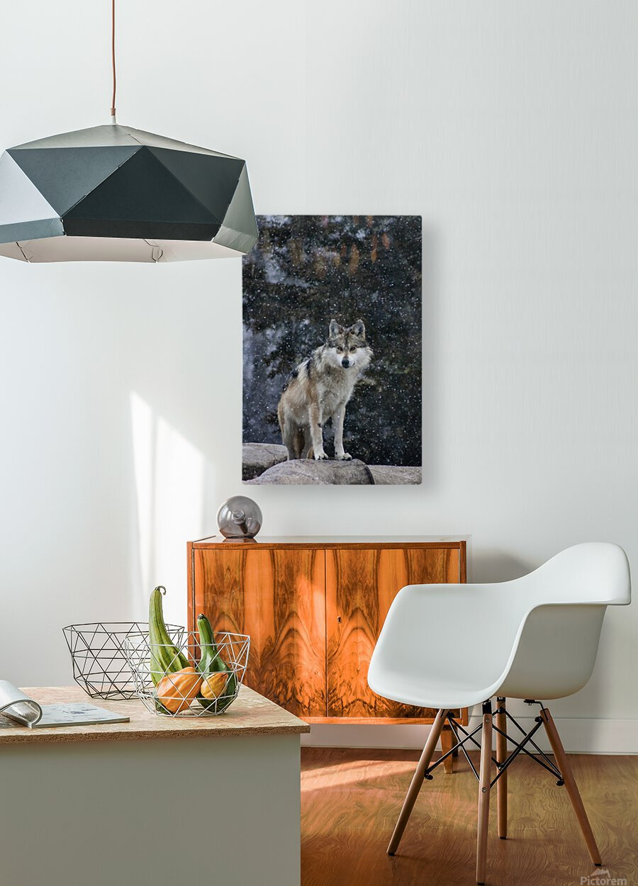 Cold Night Wolf  HD Metal print with Floating Frame on Back