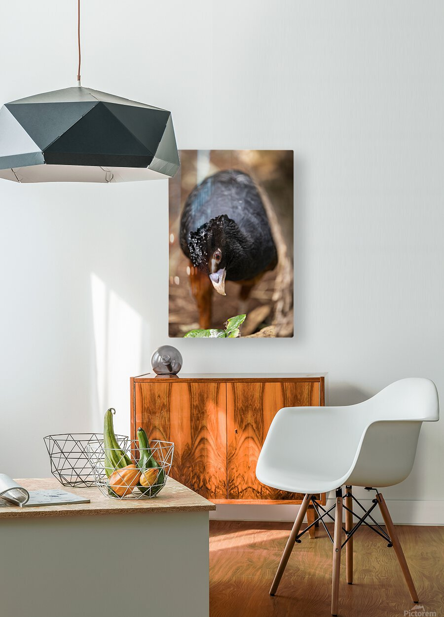 Whats This  Curassow   HD Metal print with Floating Frame on Back