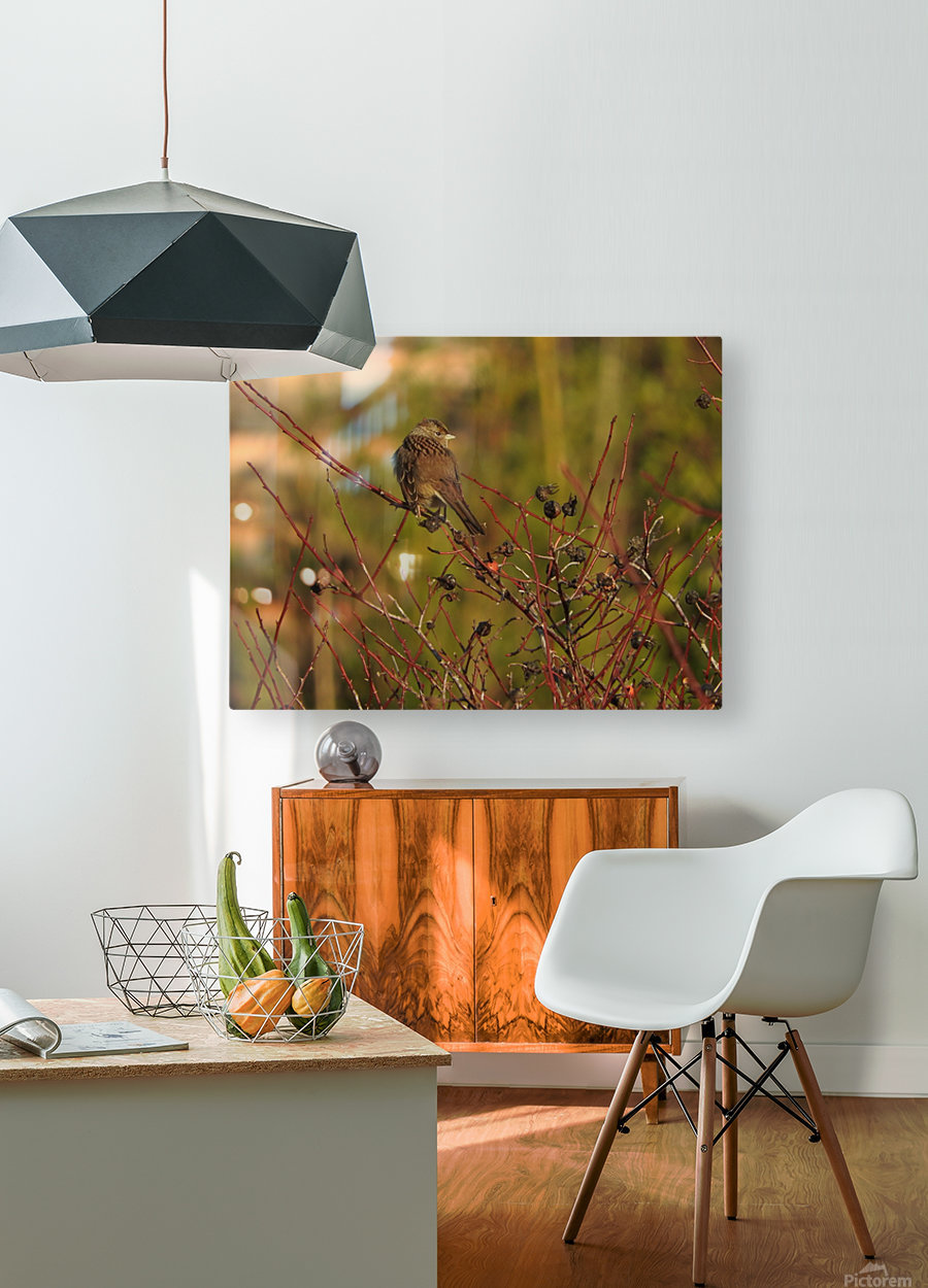 Sparrow on Wild Rose   HD Metal print with Floating Frame on Back