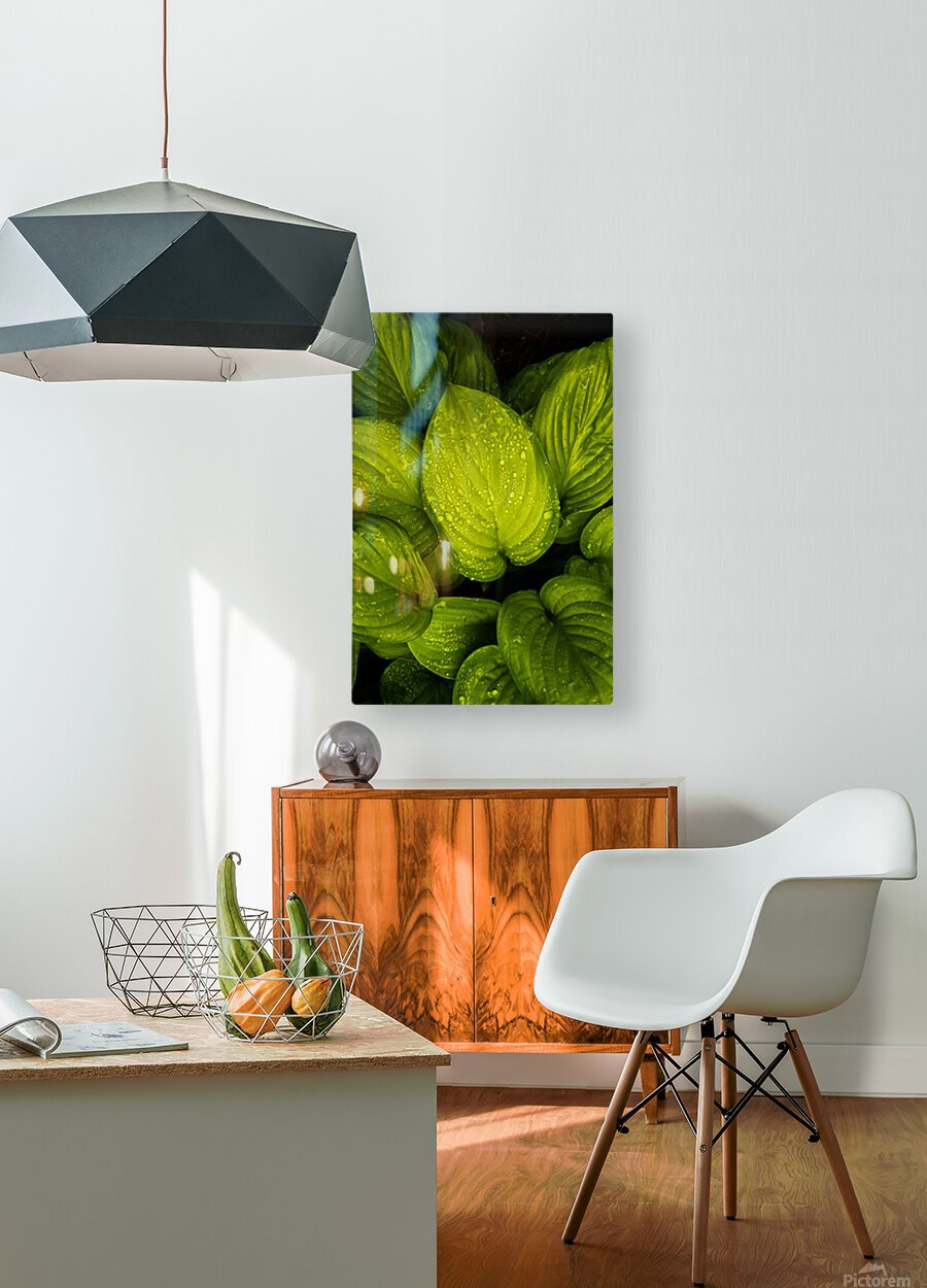 Rain Drops and Hosta Leaves  HD Metal print with Floating Frame on Back