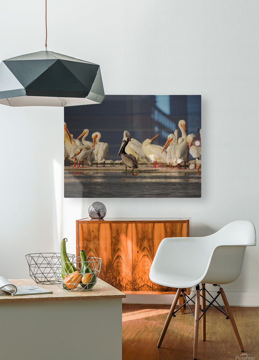 Pelicans at the Salton Sea  HD Metal print with Floating Frame on Back