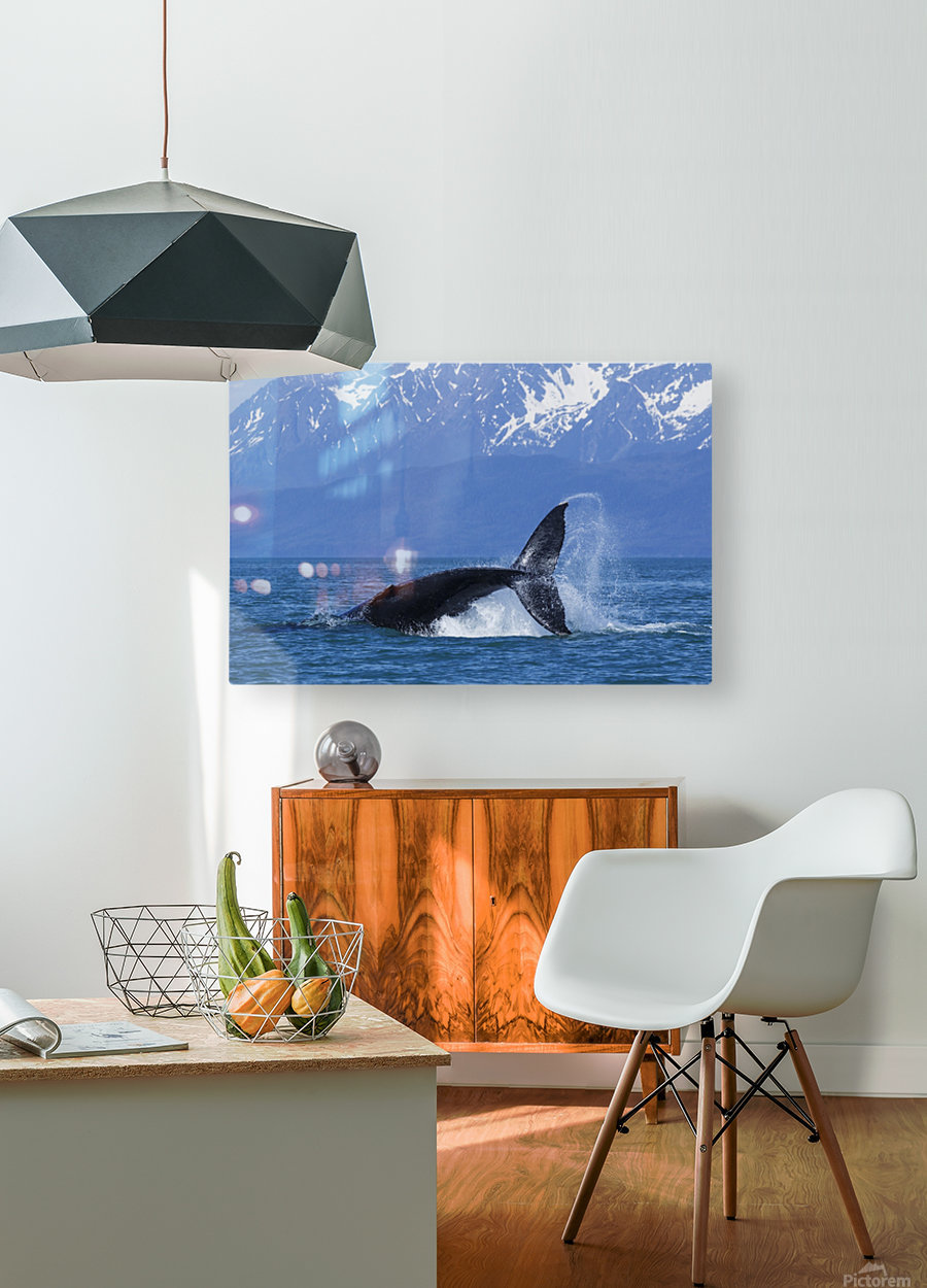 A Humpback Whale calf frolicks in Lynn Canal near Berners Bay, Inside Passage, Alaska  HD Metal print with Floating Frame on Back
