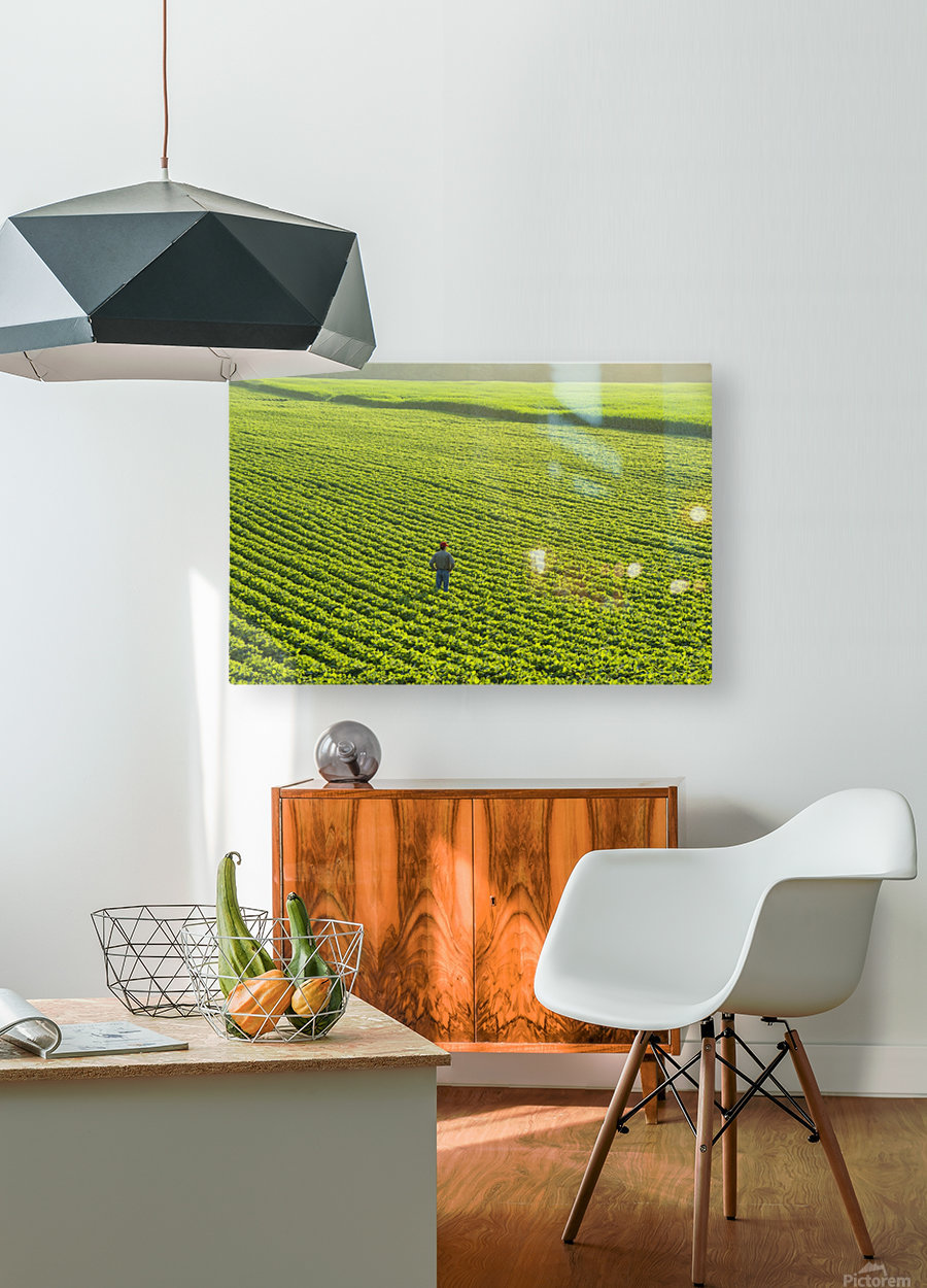 Portrait of a farmer walking through a large green soybean field in central Iowa in summer; Iowa, United States of America  HD Metal print with Floating Frame on Back