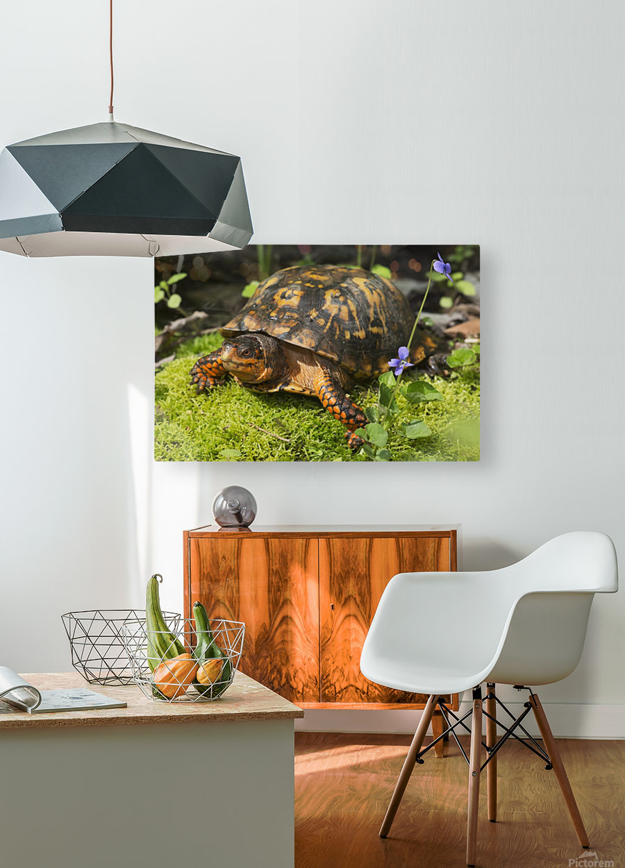 Eastern box turtle on sphagnum moss among blue violets; Connecticut, USA  HD Metal print with Floating Frame on Back