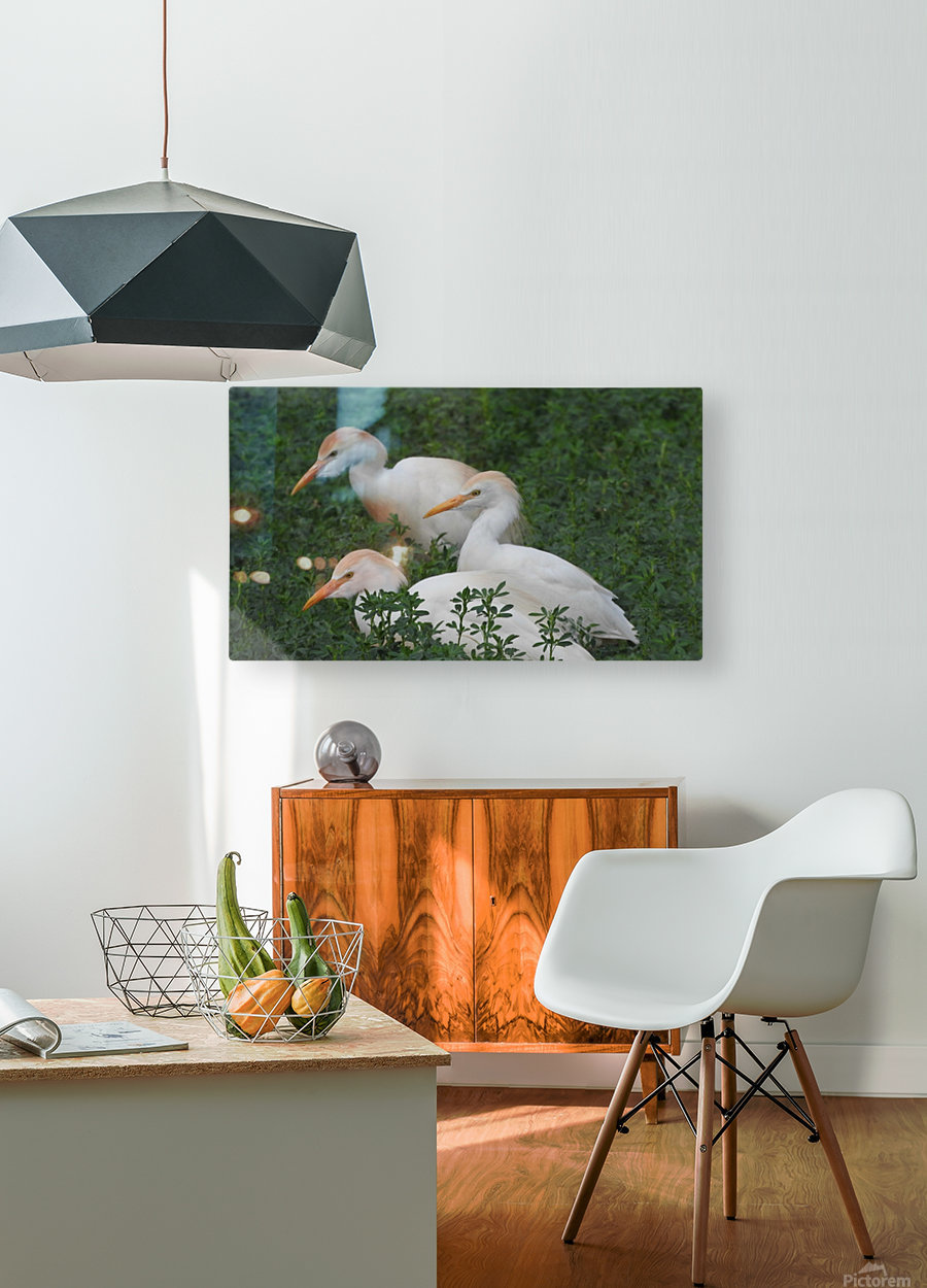 Cattle Egrets  HD Metal print with Floating Frame on Back