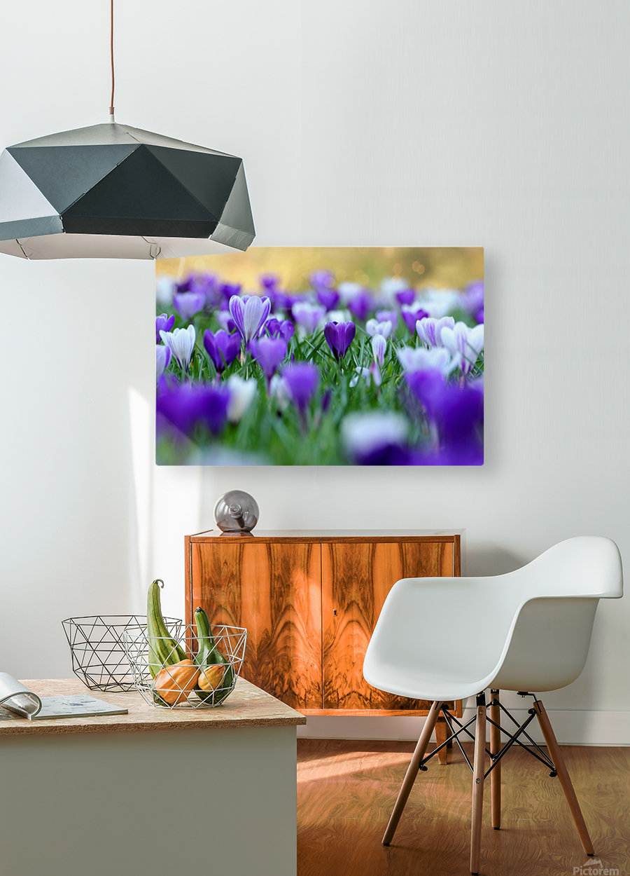 Amongst the crocuses  HD Metal print with Floating Frame on Back