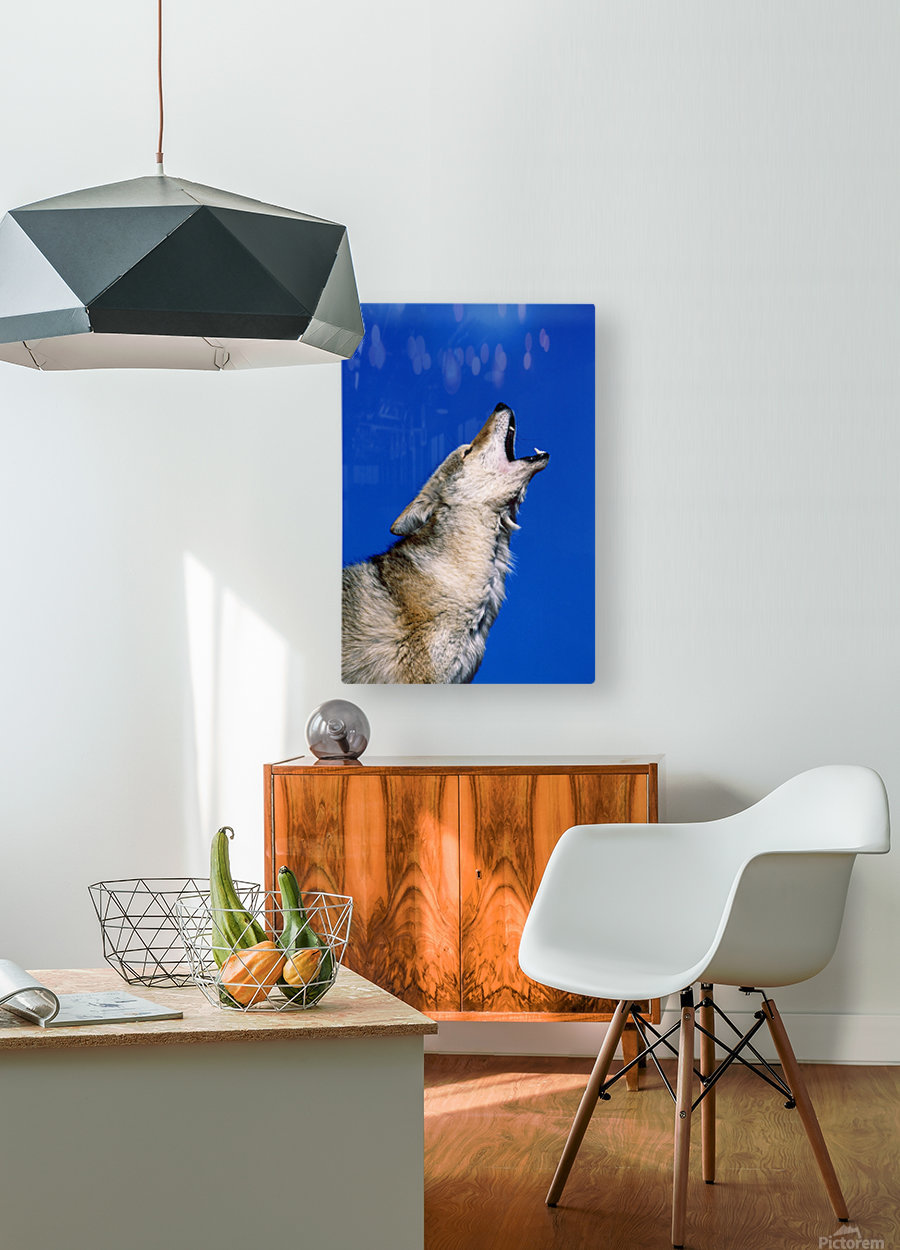 Howling Coyote  HD Metal print with Floating Frame on Back