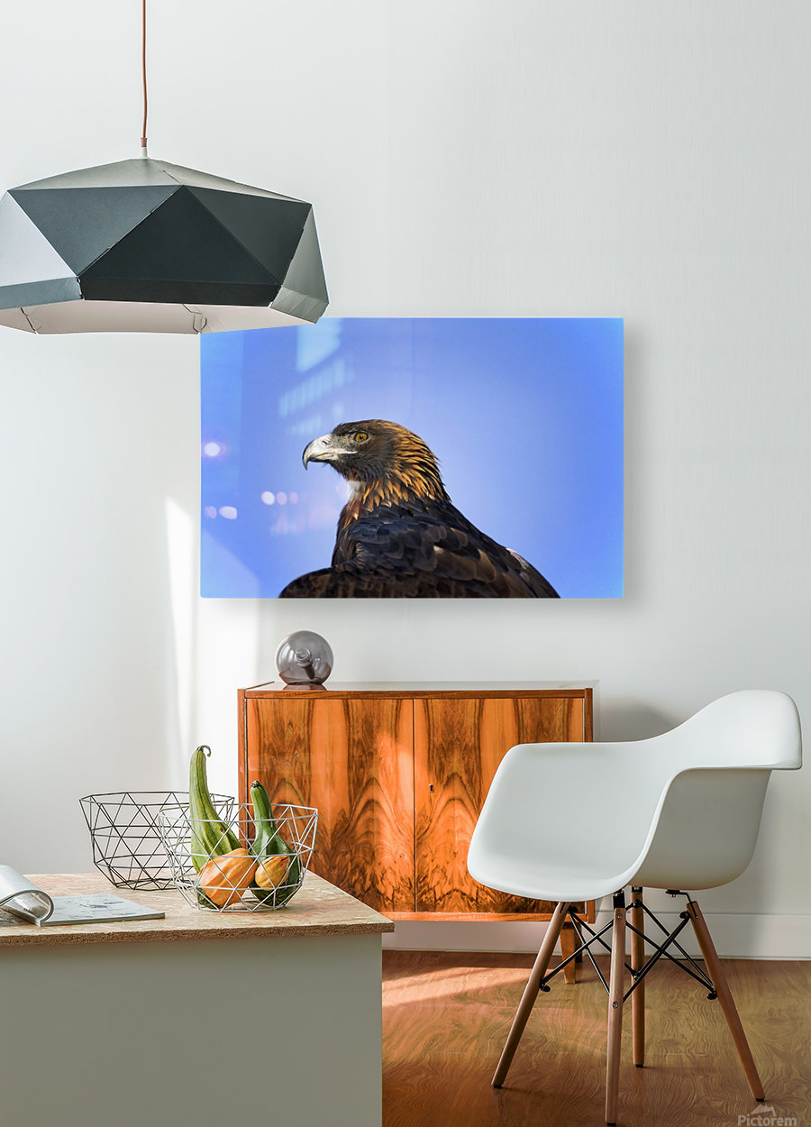 Golden Eagle  HD Metal print with Floating Frame on Back