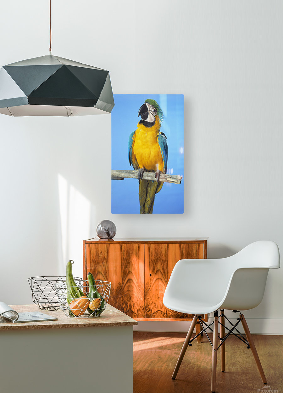 Blue-And-Gold Macaw  HD Metal print with Floating Frame on Back