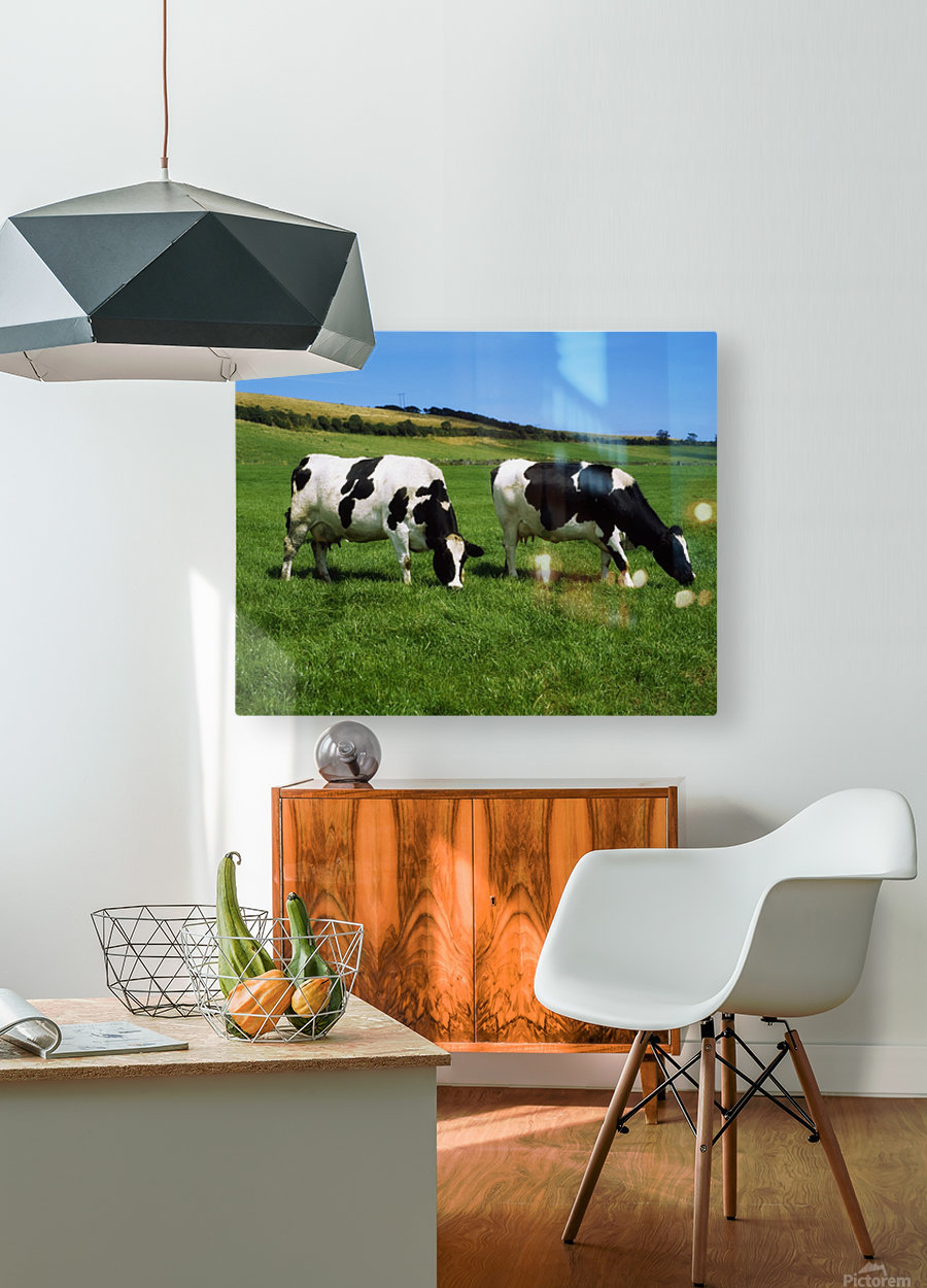 County Cork, Ireland, Dairy Cattle  HD Metal print with Floating Frame on Back