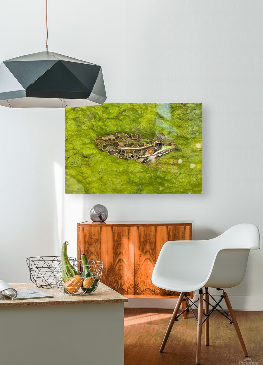 A Rio Grande Leopard Frog Sitting On A Bed Of Algae  HD Metal print with Floating Frame on Back