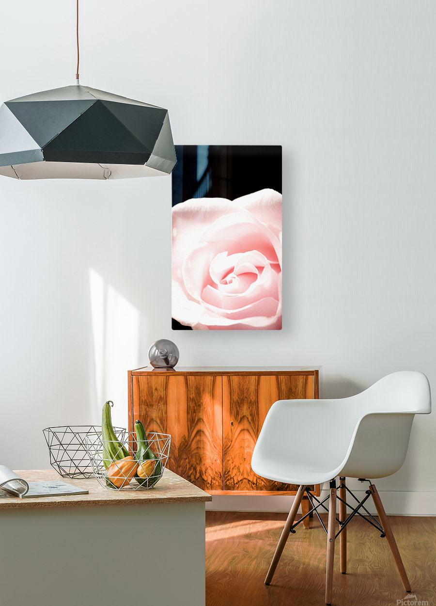 Pink Rose, Close-Up  HD Metal print with Floating Frame on Back