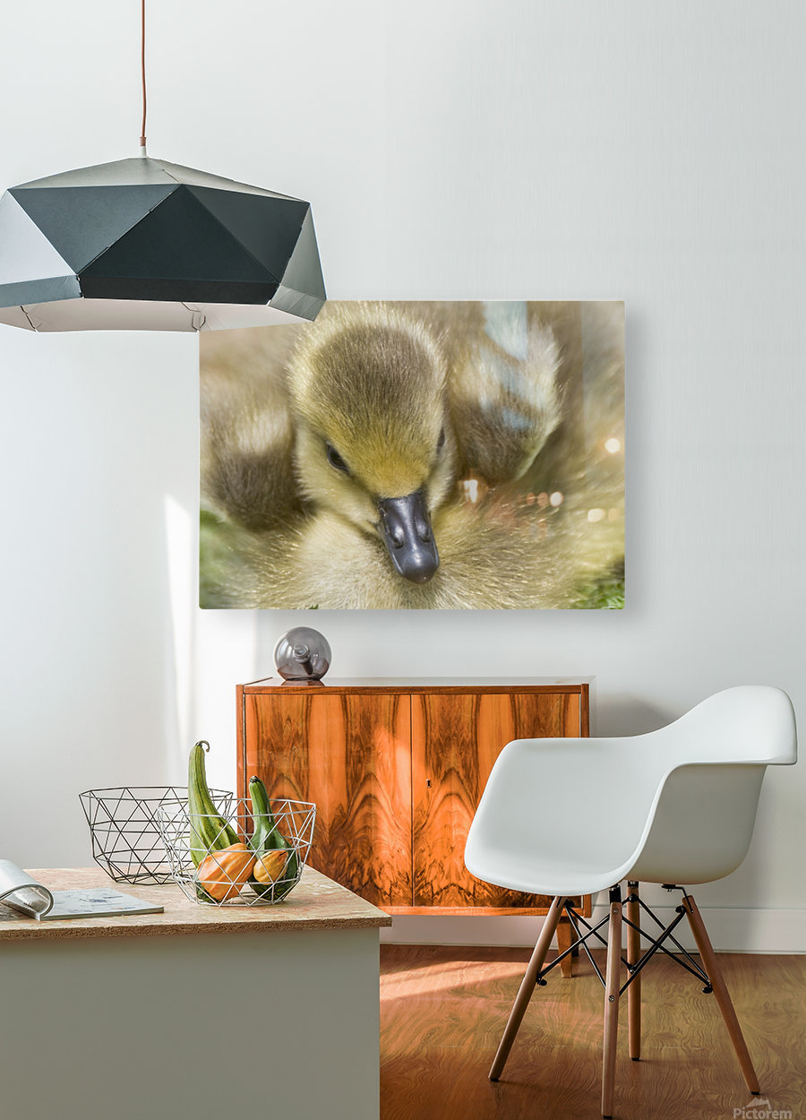 Fuzzy Gosling  HD Metal print with Floating Frame on Back