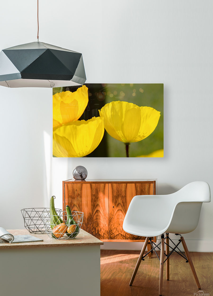 Welsh Poppy  HD Metal print with Floating Frame on Back