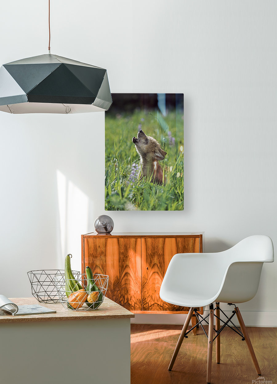 Wolf Puppy Howling In Mountain Meadow  HD Metal print with Floating Frame on Back