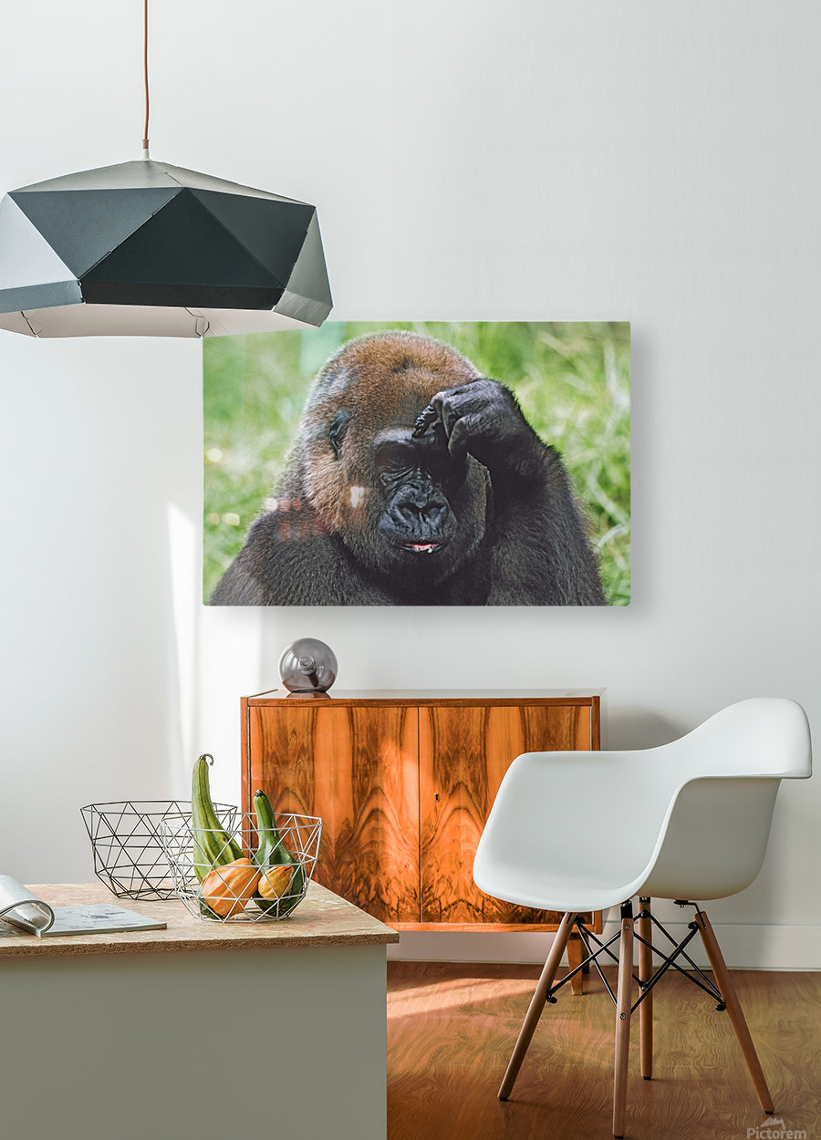 Western Gorilla Portrait With Finger On Brow As If Thinking, Africa  HD Metal print with Floating Frame on Back