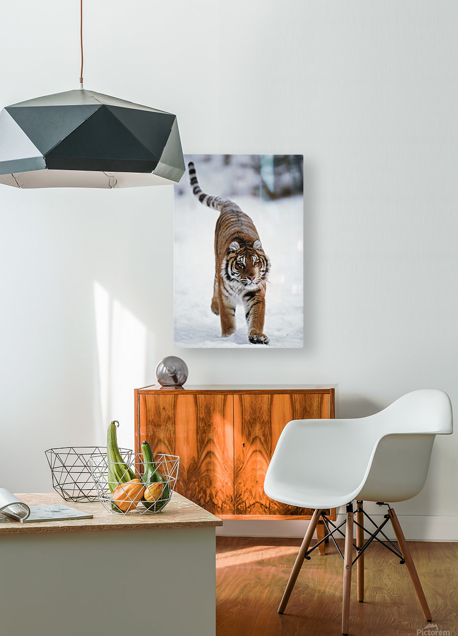 Siberian Tiger In Snow  HD Metal print with Floating Frame on Back