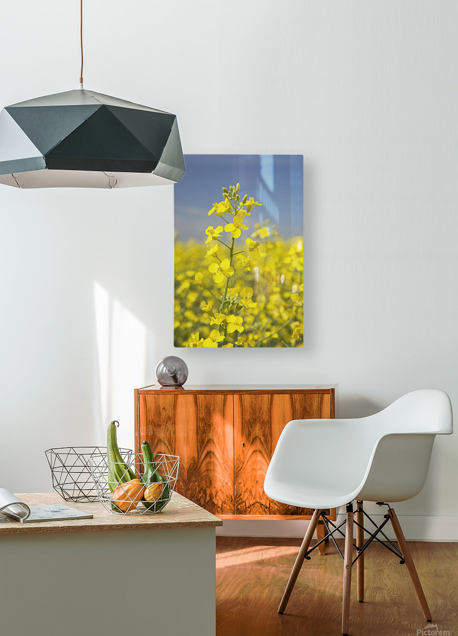 Flowering Canola, Alberta, Canada  HD Metal print with Floating Frame on Back