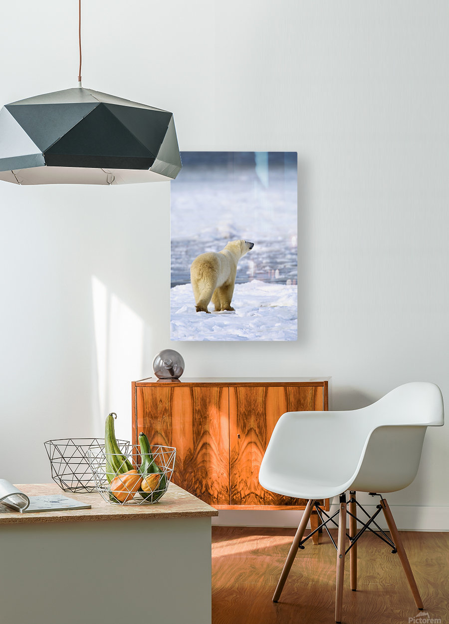 Polar Bear (Ursus Maritimus) Sniffs The Air As He Is On The Hunt For Food; Churchill, Manitoba, Canada  HD Metal print with Floating Frame on Back