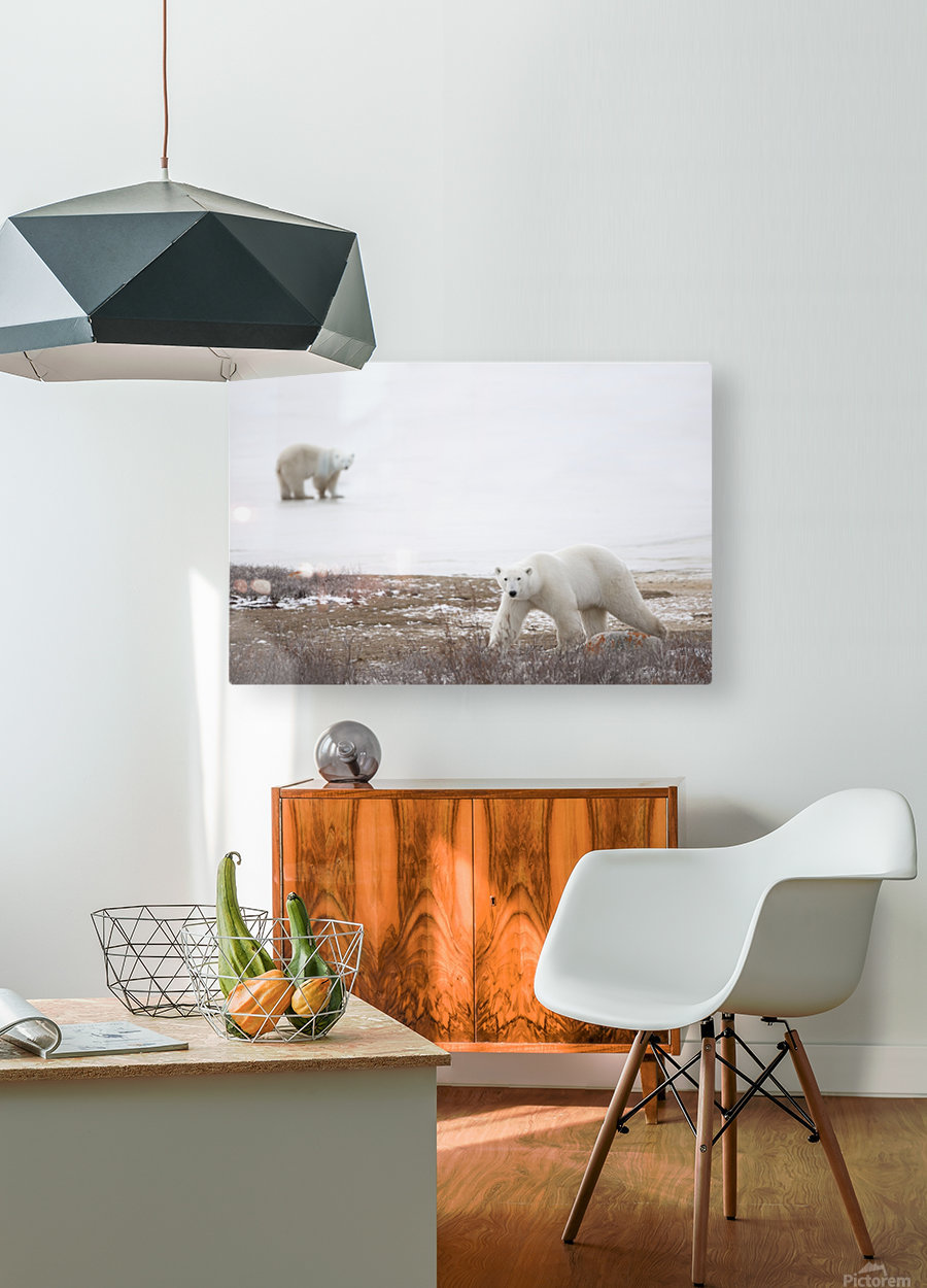 Polar Bears (Ursus Maritimus) Staring Ahead As They Walk Across The Frozen Tundra; Churchill, Manitoba, Canada  HD Metal print with Floating Frame on Back