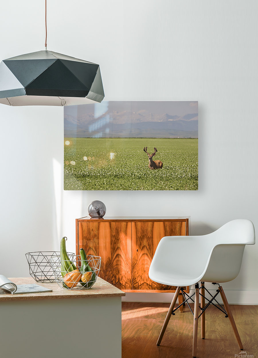 Male Deer With Antlers In A Flowering Pea Field With Mountains And Foothills In The Background; Alberta, Canada  HD Metal print with Floating Frame on Back
