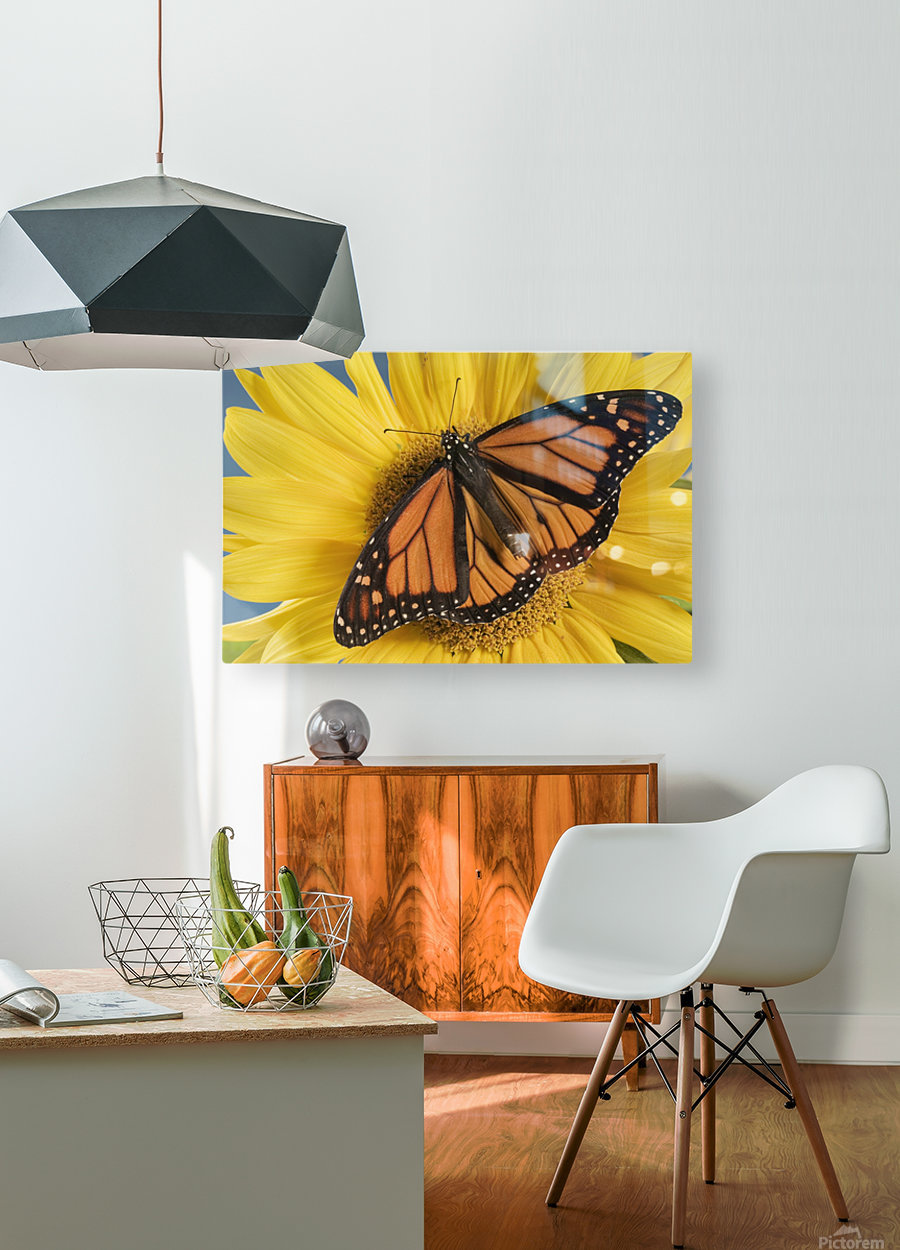 Monarch Butterfly On Sunflower.  HD Metal print with Floating Frame on Back